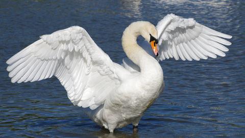 mute swan suffolk wildlife trust