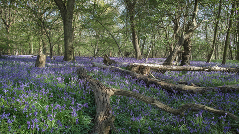 Captains Wood bluebells Suffolk Wildlife Trust