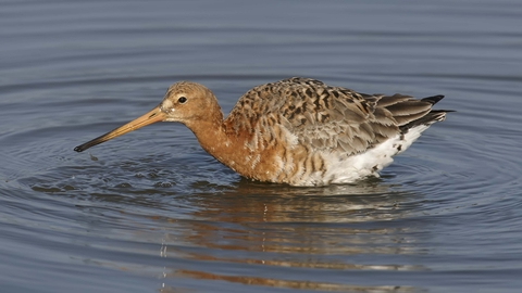 Black-tailed Godwit in summer plumage