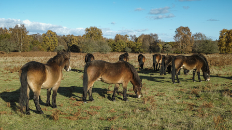 Knettishall Heath Exmoor ponies
