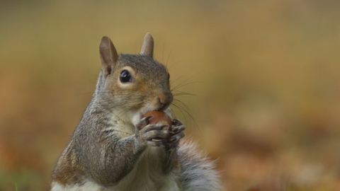 Grey Squirrel, courtesy of Kevin Sawford