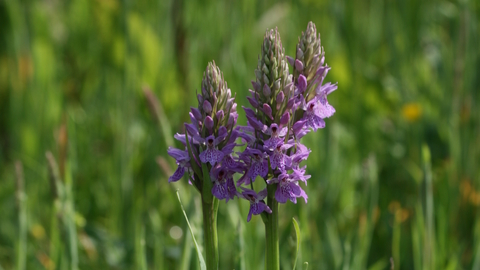 Southern marsh orchid by Steve Aylward