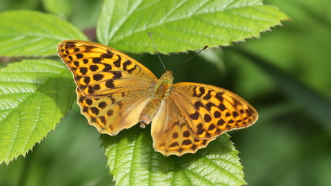 Silver washed fritillary by Steve Aylward