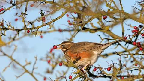 Redwing - Chris Gomersall/2020VISION