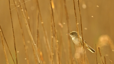Reed warbler - Chris Gomersall/2020VISION