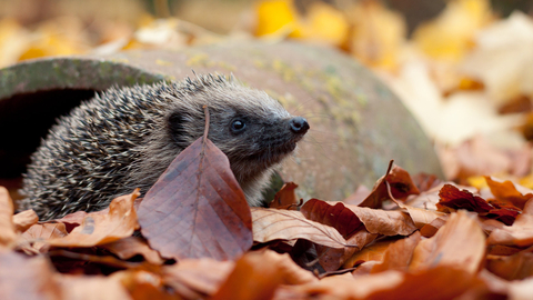 Hedgehog in autumn leaves by Tom Marshall