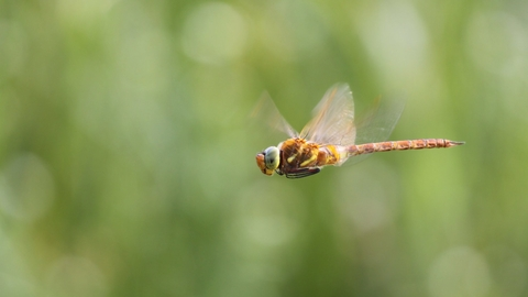 Norfolk hawker dragonfly - Jamie Hall