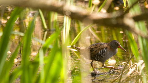Water rail - Amy Lewis