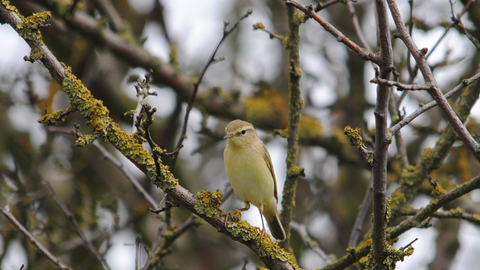 Willow warbler - Amy Lewis