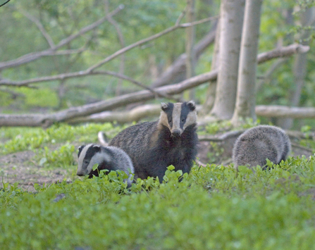 Badger Suffolk Wildlife Trust