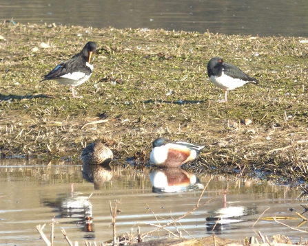Oystercatchers on the slough