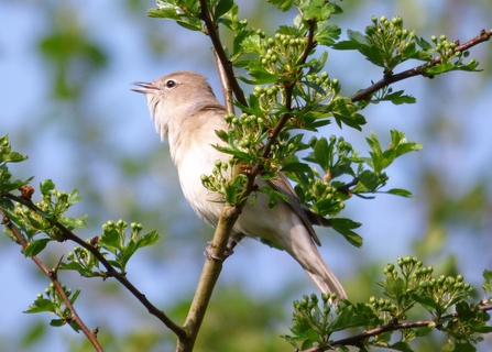 Garden Warbler by Mike Andrews