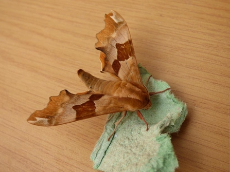 Lime hawkmoth (Brown form)