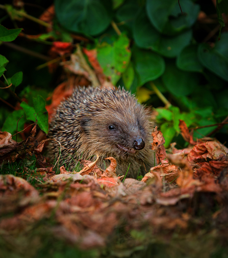 Hedgehog - John Hawkins Suffolk Wildlife Trust