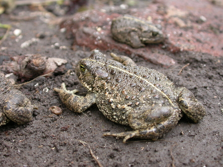 Natterjack toad by Philip Precey