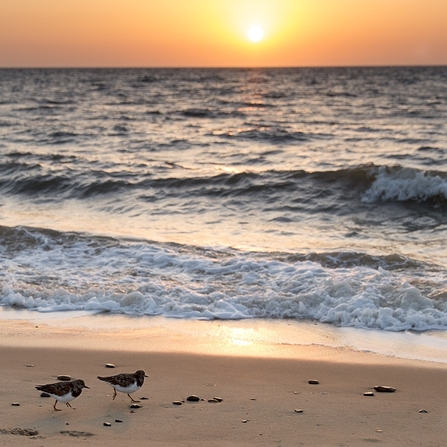Turnstones and sunrise by Sarah Groves