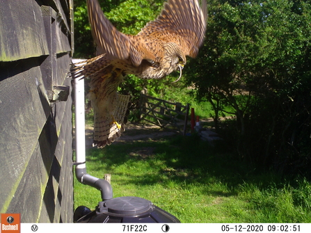 Kestrel feeding- Trimley