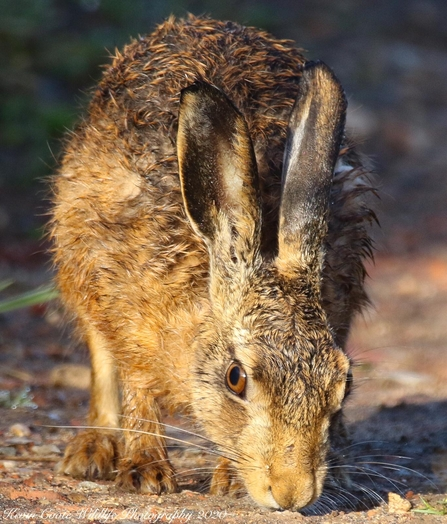 Brown Hare - Lepus europaeus - Kevin Coote