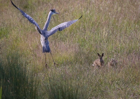 Heron scared by Hare, Carlton Marshes - Kevin Coote
