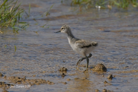 Avocet chick at Carlton