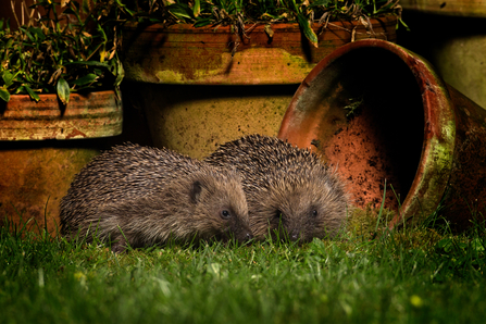 Hedgehogs - Jon Hawkins/Surrey Hills Photography