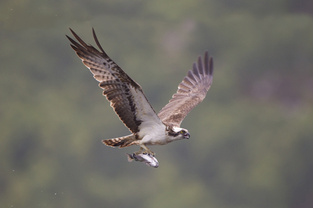 Osprey - Peter Cairns