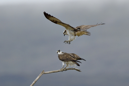 Ospreys preparing to mate - Andy Rouse