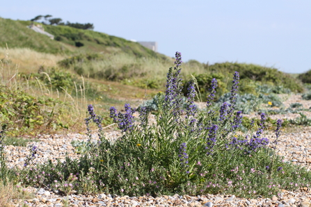 Vegetated shingle on Sizewell Beach - Steve Aylward