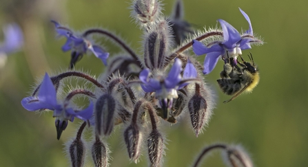 Common carder bee on borage - Chris Gomersall/2020VISION